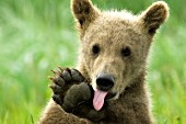Brown bear cub licking its paw