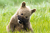 """Shy"" bear cub hiding its face with its paw"