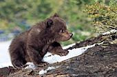 Young grizzly cub walking on a fallen log
