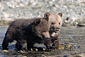 Twin grizzly cubs walking in a shallow river