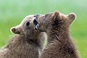 Twin bear cubs sparring
