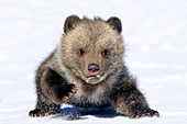 Grizzly cub playing in the snow