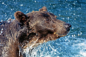 Brown bear splashing water while trying to catch a fish