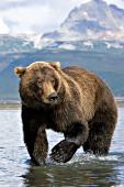 Brown bear walking in shallow water