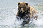 Brown bear fishing in shallow water