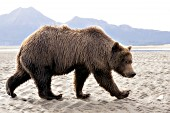 Young brown bear walking on the beach