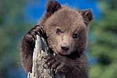 Grizzly cub climbing on a tree stump