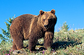Adolescent grizzly standing on a hillside