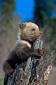 Grizzly cub clinging to a snag