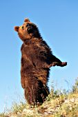 Adult grizzly standing on its hind legs & looking over its shoulder