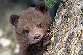Grizzly cub clininging to a tree trunk