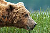 Alaskan brown bear eating grass