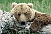 Alaskan brown bear resting on a log
