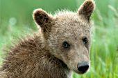 Curious brown bear cub
