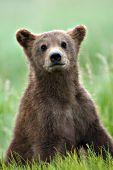 Curious brown bear cub sitting in grass