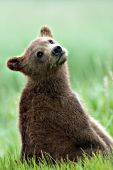 Curious brown bear cub sitting in grass
