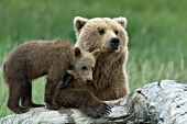Brown bear cub standing on a log next to his mom