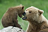 Brown bear mother playing with her cub