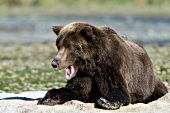 Brown bear yawning while resting in sand