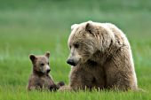 Brown bear mother & cub resting in the grass