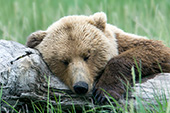 Brown bear sleeping on a log
