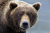 Grizzly (brown) bear portrait