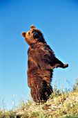 Grizzly bear looking behind while standing up on his hind legs
