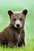 Grizzly (brown) bear cub sitting in grass