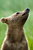 Alaskan brown bear cub sniffing the air
