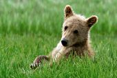 Alaskan brown bear cub resting in grass