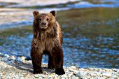 Alaskan brown bear cub standing on a river bank