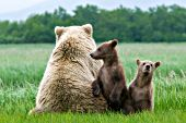 Brown bear mom watching for males as her cubs stand by