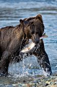 Alaskan brown bear catching a salmon