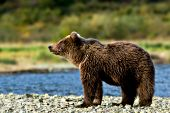 Brown bear cub standing on shore