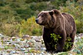 Large brown bear standing on a riverbank