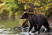 Brown bear standing on a riverbank with autumn foliage