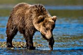 Brown bear cub walking in shallow water