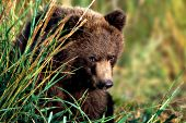 Grizzly cub in tall grass
