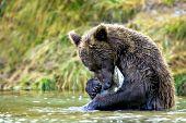 Alaskan brown bear with a freshly caught salmon