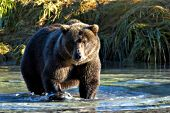 Alaskan brown bear wading in a shallow river