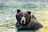 Alaskan brown bear cooling off in a river at sunset