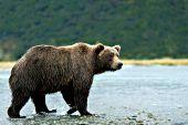 Alaskan brown bear crossing a shallow river