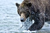 Alaskan brown bear fishing with water dripping of its head