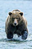 Alaskan brown bear walking through a shallow river