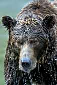Water dripping off a brown bear's face after fishing