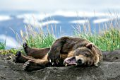 Old, nearly toothless brown bear resting in a day bed
