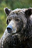 Portrait of a brown bear in the rain