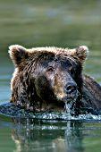 Alaskan brown bear fishing in deep water