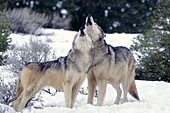 Wolf pair howling in unison