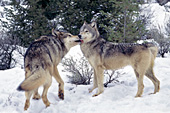 Gray wolf greeting the pack leader
